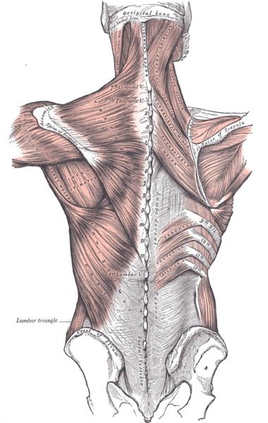 Mięśnie, otaczająca je powięź i szkielet tworzą skomplikowany układ. Fot. Gray's Anatomy